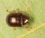 Rhabdopterus sp.