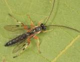 Apechthis annulicornis