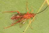 Polytribax pallescens (male)