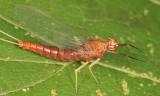 Isonychia sp.