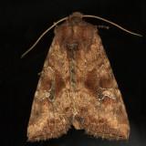 9454 - Veiled Ear Moth - Amphipoea velata