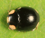 Hyperaspis bigeminata