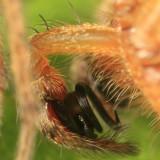 Agelenopsis utahana