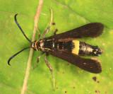 2608 - Carmenta Clearwing Moth - Carmenta pyralidiformis