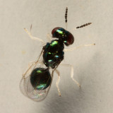 Chrysocharis sp.?