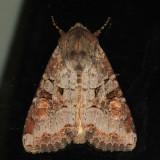 10304 - Striped Garden Caterpillar Moth