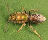 Augochlorella aurata