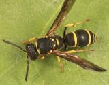 Ancistrocerus adiabatus