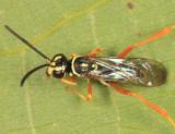 Ceropales maculata rhodomerus