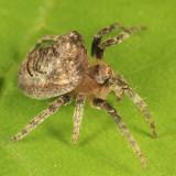 Orb Weavers - Genus Ocrepeira