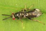 Monodontomerus sp.