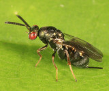 Chalcid Wasps - Torymidae