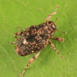 Lechriops oculata