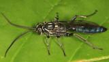 Coelichneumon eximius