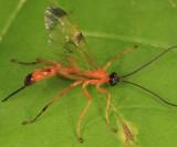Acrotaphus wiltii  (female)