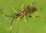 Cratichneumon paratus
