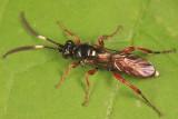 Melanichneumon leviculops
