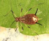 Wild Lettuce Aphid - Uroleucon pseudambrosiae