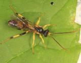 Cosmoconus petiolatus