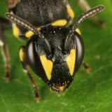 Hylaeus sp.