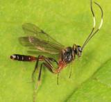 Oxytorus sp.
