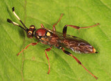 Melanichneumon disparilis