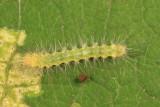 8137 - Virginian Tiger Moth - Spilosoma virginica
