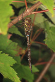 Shadow Darner - Aeshna umbrosa