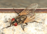 House Fly - Musca domestica