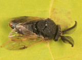 Introduced Pine Sawfly - Diprion similis (male)