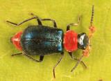Collops tricolor (male)