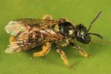 Lasioglossum oblongum