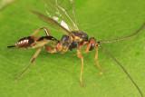 Mesochorus discitergus