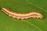 10304 - Striped Garden Caterpillar - Trichordestra legitima