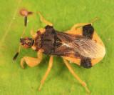 Phymata pennsylvanica