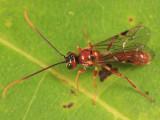Exyston maculosum (female)