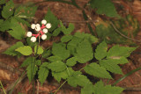 Doll's Eyes (White Baneberry) - Actaea pachypoda