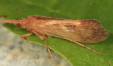 Limnephilus indivisus