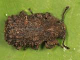 Forked Fungus Beetle - Bolitotherus cornutus (female)