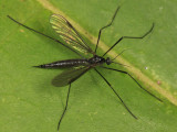 Gnophomyia tristissima