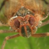 Cixius coloepium