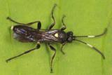 Vulgichneumon brevicinctor