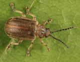 Tricholochmaea sp.