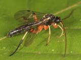 Otlophorus sp.
