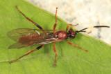 Aoplus velox (female)