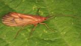 Pycnopsyche sp. (subfasciata?)