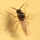 Atrichopogon sp.