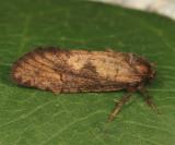 0367 - Acrolophus morus