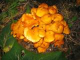 Omphalotus illudens (Jack O'Lantern mushroom)