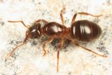 Lasius umbratus (queen)